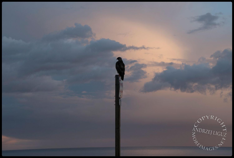 Hawk at San Simeon Beach, CA 2015-03-01