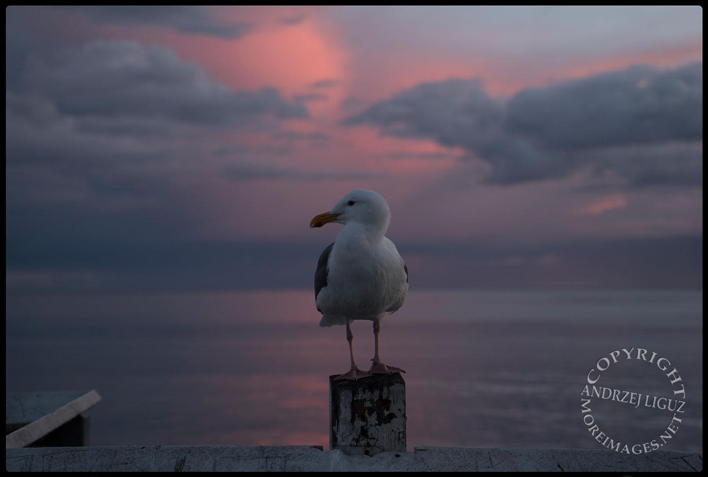Seagull at San Simeon Beach, CA 2015-03-01